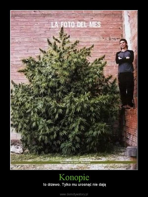 Konopie –  to drzewo. Tylko mu urosnąć nie dają