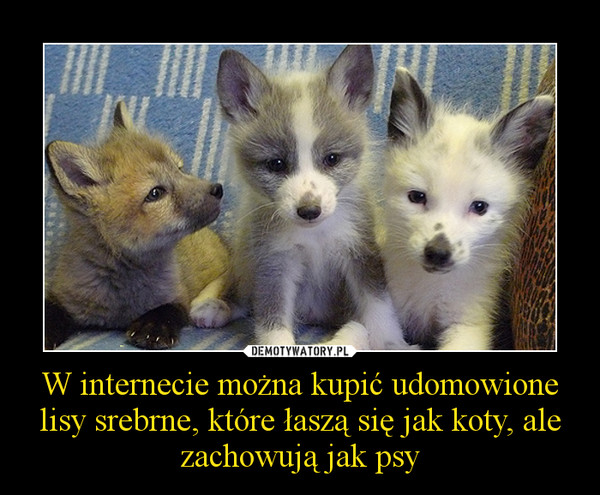 W internecie można kupić udomowione lisy srebrne, które łaszą się jak koty, ale zachowują jak psy –