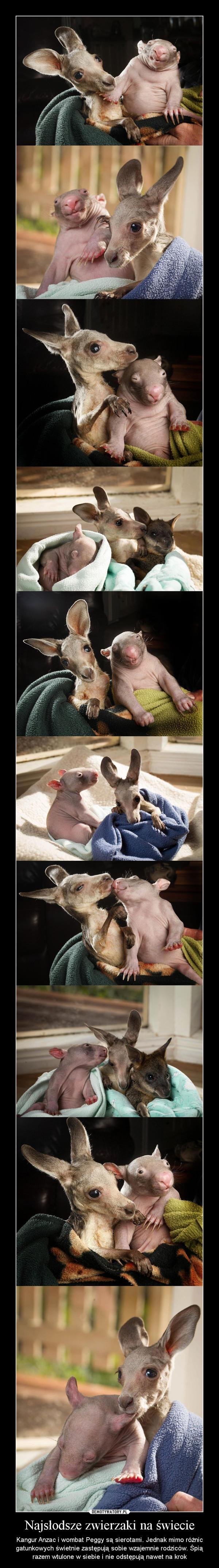 Najsłodsze zwierzaki na świecie – Kangur Anzac i wombat Peggy są sierotami. Jednak mimo różnic gatunkowych świetnie zastępują sobie wzajemnie rodziców. Śpią razem wtulone w siebie i nie odstępują nawet na krok