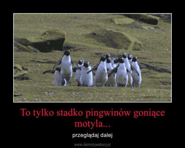 To tylko stadko pingwinów goniące motyla... – przeglądaj dalej