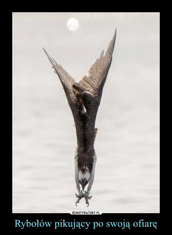 Rybołów pikujący po swoją ofiarę –