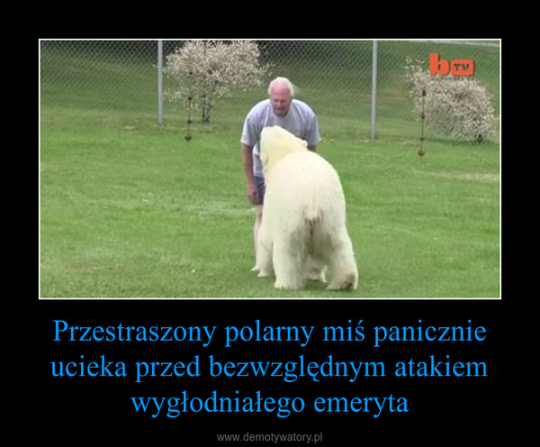Przestraszony polarny miś panicznie ucieka przed bezwzględnym atakiem wygłodniałego emeryta –