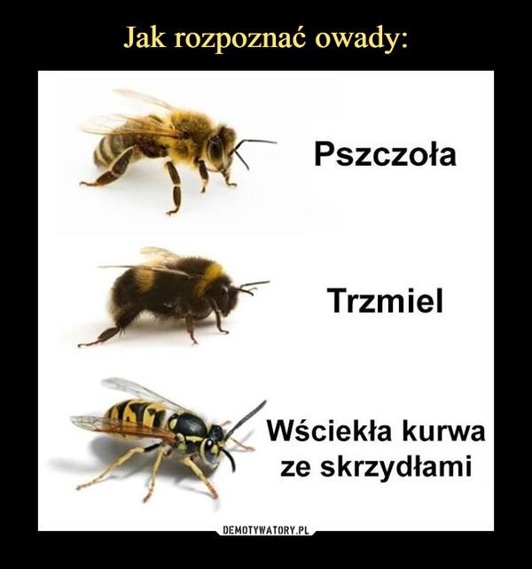 –  Pszczoła Trzmiel Wściekła kurwa ze skrzydłami