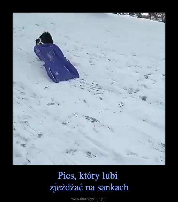 Pies, który lubi zjeżdżać na sankach –