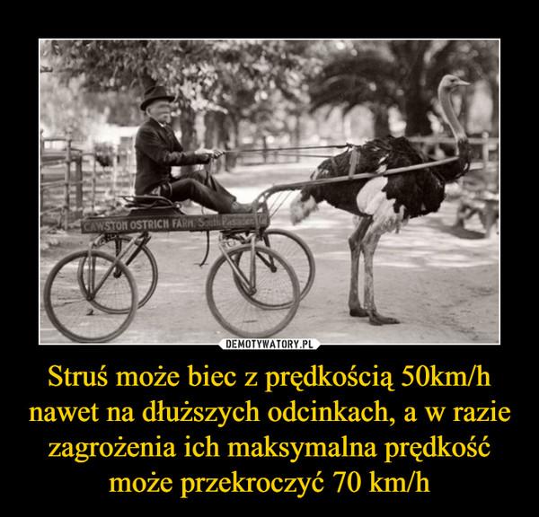 Struś może biec z prędkością 50km/h nawet na dłuższych odcinkach, a w razie zagrożenia ich maksymalna prędkość może przekroczyć 70 km/h –