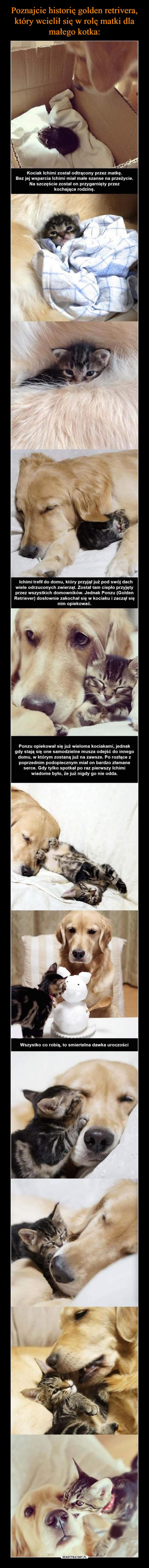 –  Poznajcie historię golden retrivera,który wcielił się w rolę matki damałego kotka:Ponzu epiekowal sie juz wielome kociakani, jedeakwiadome byto, e ju rigdy go nie odds