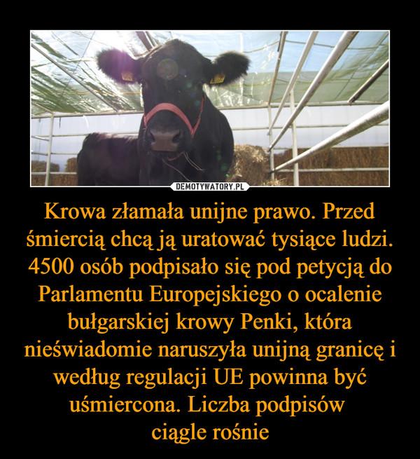 Krowa złamała unijne prawo. Przed śmiercią chcą ją uratować tysiące ludzi. 4500 osób podpisało się pod petycją do Parlamentu Europejskiego o ocalenie bułgarskiej krowy Penki, która nieświadomie naruszyła unijną granicę i według regulacji UE powinna być uśmiercona. Liczba podpisów ciągle rośnie –