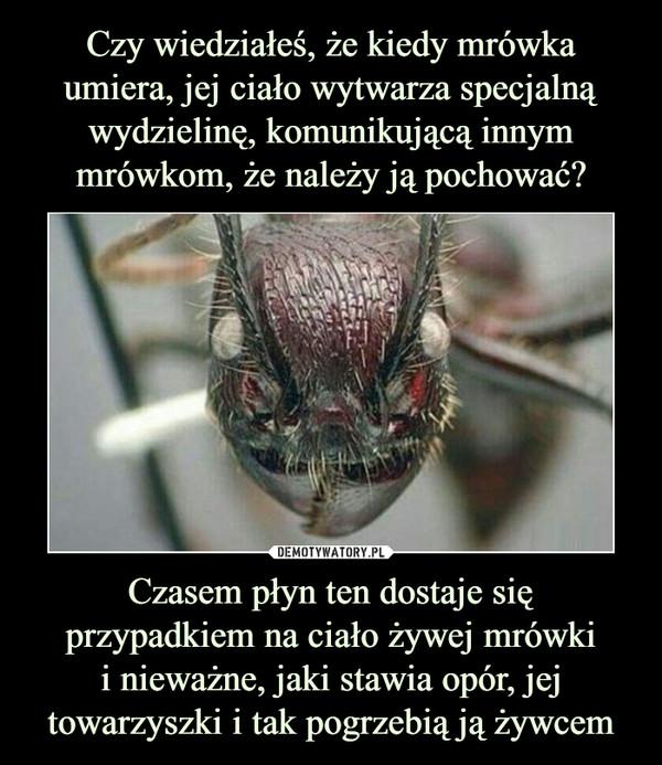 Czasem płyn ten dostaje się przypadkiem na ciało żywej mrówkii nieważne, jaki stawia opór, jej towarzyszki i tak pogrzebią ją żywcem –