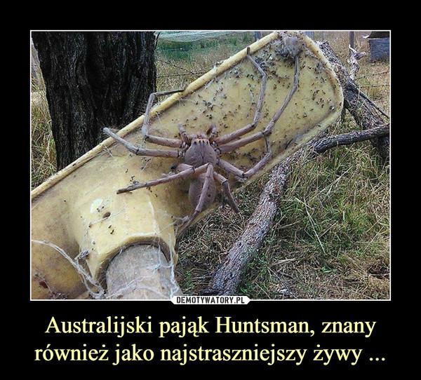 Australijski pająk Huntsman, znany również jako najstraszniejszy żywy ... –