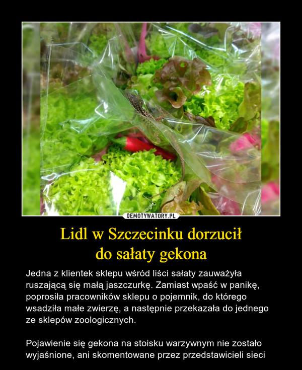 Lidl w Szczecinku dorzuciłdo sałaty gekona – Jedna z klientek sklepu wśród liści sałaty zauważyła ruszającą się małą jaszczurkę. Zamiast wpaść w panikę, poprosiła pracowników sklepu o pojemnik, do którego wsadziła małe zwierzę, a następnie przekazała do jednego ze sklepów zoologicznych.Pojawienie się gekona na stoisku warzywnym nie zostało wyjaśnione, ani skomentowane przez przedstawicieli sieci