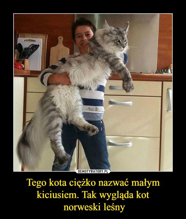 Tego kota ciężko nazwać małym kiciusiem. Tak wygląda kot norweski leśny –