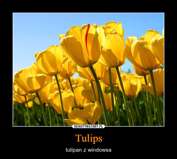 Tulips – tulipan z windowsa