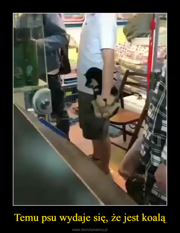 Temu psu wydaje się, że jest koalą –