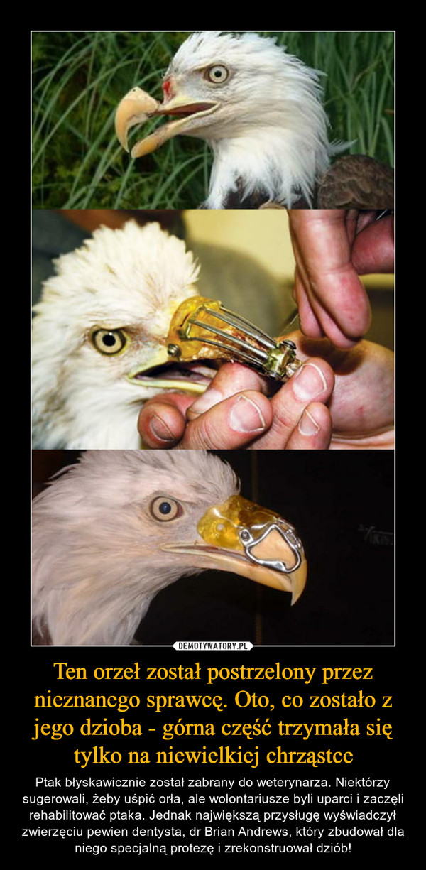 Ten orzeł został postrzelony przez nieznanego sprawcę. Oto, co zostało z jego dzioba - górna część trzymała się tylko na niewielkiej chrząstce – Ptak błyskawicznie został zabrany do weterynarza. Niektórzy sugerowali, żeby uśpić orła, ale wolontariusze byli uparci i zaczęli rehabilitować ptaka. Jednak największą przysługę wyświadczył zwierzęciu pewien dentysta, dr Brian Andrews, który zbudował dla niego specjalną protezę i zrekonstruował dziób!