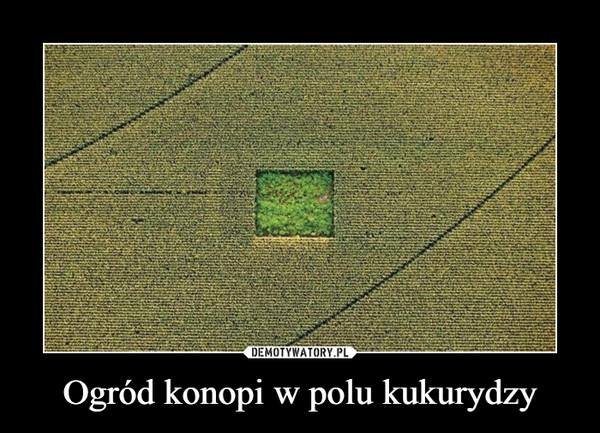 Ogród konopi w polu kukurydzy –
