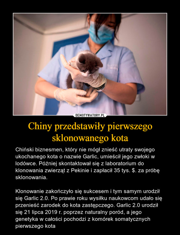 Chiny przedstawiły pierwszego sklonowanego kota – Chiński biznesmen, który nie mógł znieść utraty swojego ukochanego kota o nazwie Garlic, umieścił jego zwłoki w lodówce. Później skontaktował się z laboratorium do klonowania zwierząt z Pekinie i zapłacił 35 tys. $. za próbę sklonowania.Klonowanie zakończyło się sukcesem i tym samym urodził się Garlic 2.0. Po prawie roku wysiłku naukowcom udało się przenieść zarodek do kota zastępczego. Garlic 2.0 urodził się 21 lipca 2019 r. poprzez naturalny poród, a jego genetyka w całości pochodzi z komórek somatycznych pierwszego kota