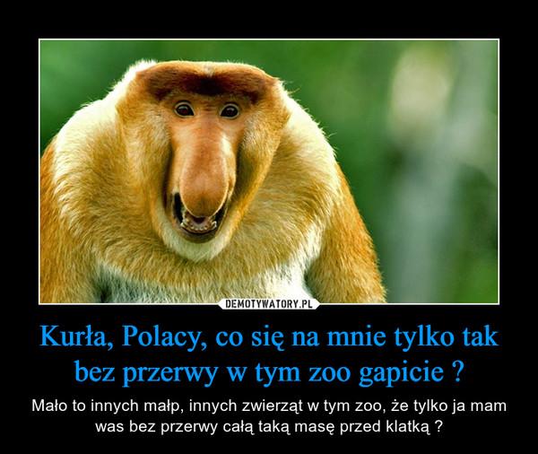 Kurła, Polacy, co się na mnie tylko tak bez przerwy w tym zoo gapicie ? – Mało to innych małp, innych zwierząt w tym zoo, że tylko ja mam was bez przerwy całą taką masę przed klatką ?
