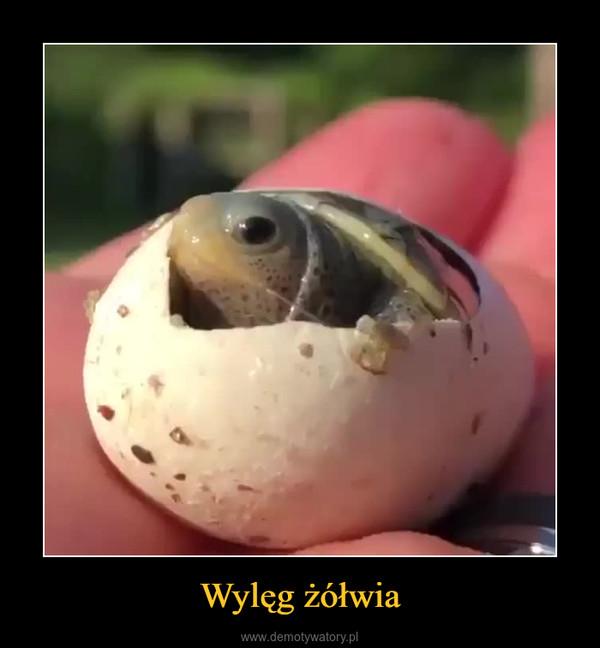 Wylęg żółwia –
