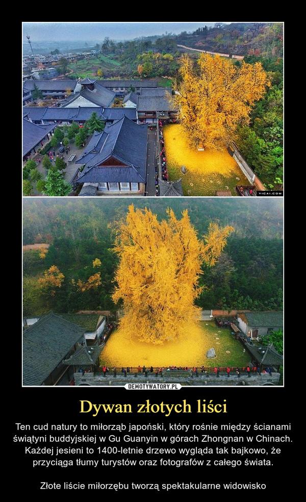 Dywan złotych liści – Ten cud natury to miłorząb japoński, który rośnie między ścianami świątyni buddyjskiej w Gu Guanyin w górach Zhongnan w Chinach. Każdej jesieni to 1400-letnie drzewo wygląda tak bajkowo, że przyciąga tłumy turystów oraz fotografów z całego świata.Złote liście miłorzębu tworzą spektakularne widowisko