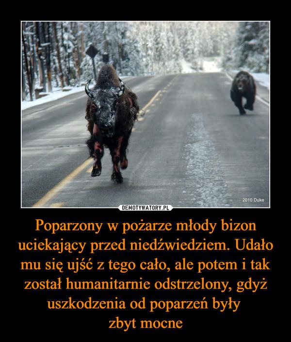 Poparzony w pożarze młody bizon uciekający przed niedźwiedziem. Udało mu się ujść z tego cało, ale potem i tak został humanitarnie odstrzelony, gdyż uszkodzenia od poparzeń były zbyt mocne –
