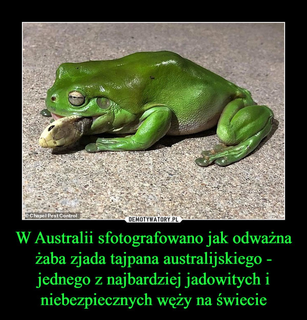 W Australii sfotografowano jak odważna żaba zjada tajpana australijskiego - jednego z najbardziej jadowitych i niebezpiecznych węży na świecie –