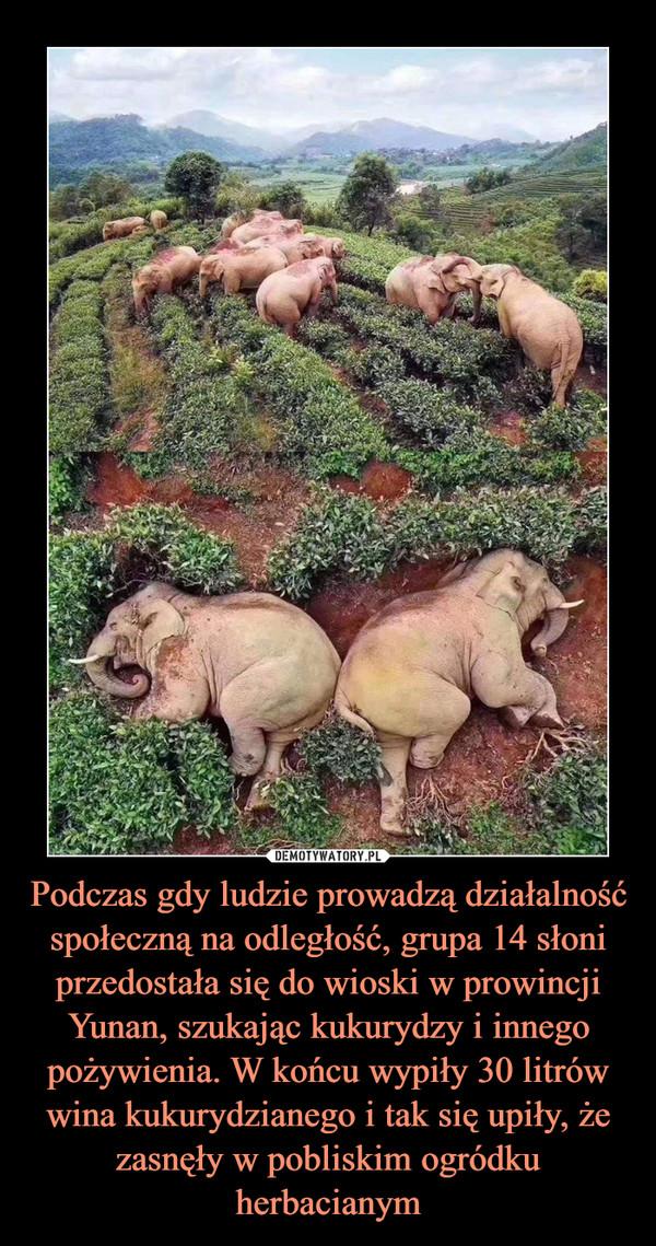 Podczas gdy ludzie prowadzą działalność społeczną na odległość, grupa 14 słoni przedostała się do wioski w prowincji Yunan, szukając kukurydzy i innego pożywienia. W końcu wypiły 30 litrów wina kukurydzianego i tak się upiły, że zasnęły w pobliskim ogródku herbacianym –