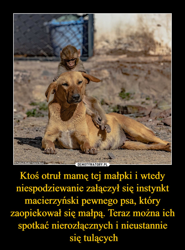 Ktoś otruł mamę tej małpki i wtedy niespodziewanie załączył się instynkt macierzyński pewnego psa, który zaopiekował się małpą. Teraz można ich spotkać nierozłącznych i nieustannie się tulących –