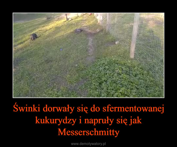 Świnki dorwały się do sfermentowanej kukurydzy i napruły się jak Messerschmitty –