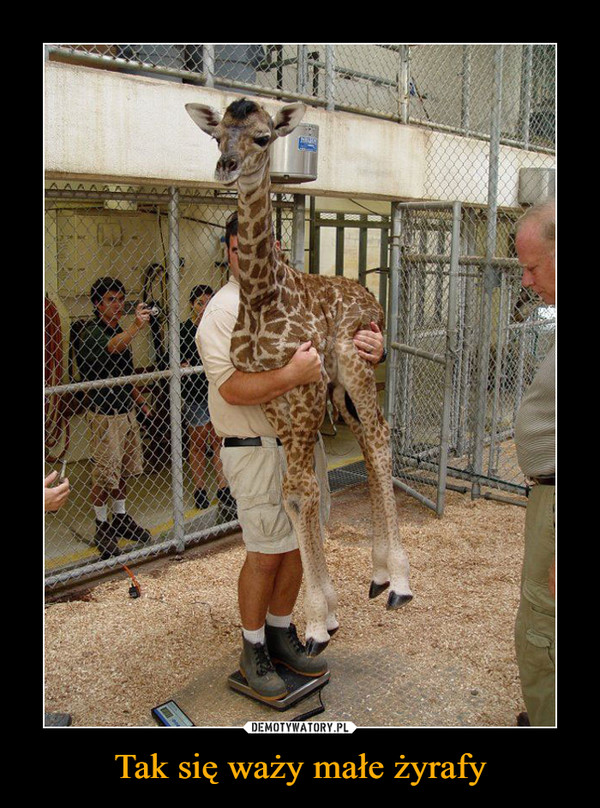 Tak się waży małe żyrafy –