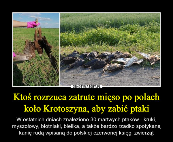 Ktoś rozrzuca zatrute mięso po polach koło Krotoszyna, aby zabić ptaki – W ostatnich dniach znaleziono 30 martwych ptaków - kruki, myszołowy, błotniaki, bielika, a także bardzo rzadko spotykaną kanię rudą wpisaną do polskiej czerwonej księgi zwierząt