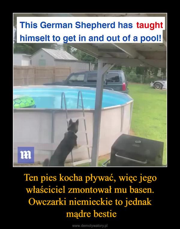 Ten pies kocha pływać, więc jego właściciel zmontował mu basen. Owczarki niemieckie to jednak mądre bestie –