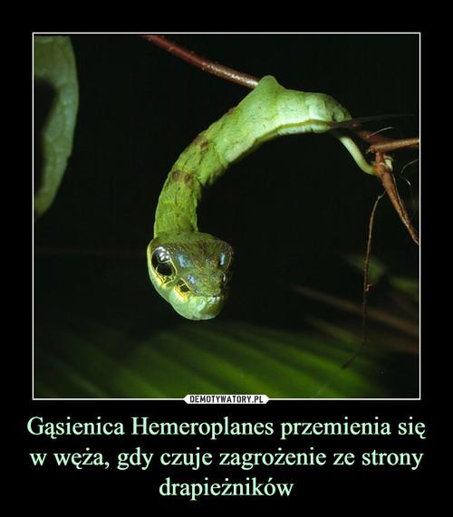 Gąsienica Hemeroplanes przemienia się w węża, gdy czuje zagrożenie ze strony drapieżników