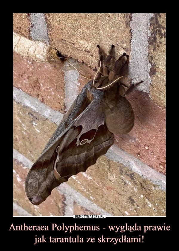 Antheraea Polyphemus - wygląda prawie jak tarantula ze skrzydłami! –