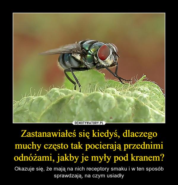 Zastanawiałeś się kiedyś, dlaczego muchy często tak pocierają przednimi odnóżami, jakby je myły pod kranem? – Okazuje się, że mają na nich receptory smaku i w ten sposób sprawdzają, na czym usiadły