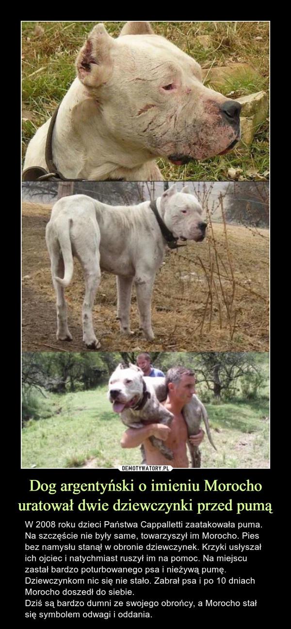Dog argentyński o imieniu Morocho uratował dwie dziewczynki przed pumą – W 2008 roku dzieci Państwa Cappalletti zaatakowała puma. Na szczęście nie były same, towarzyszył im Morocho. Pies bez namysłu stanął w obronie dziewczynek. Krzyki usłyszał ich ojciec i natychmiast ruszył im na pomoc. Na miejscu zastał bardzo poturbowanego psa i nieżywą pumę. Dziewczynkom nic się nie stało. Zabrał psa i po 10 dniach Morocho doszedł do siebie.Dziś są bardzo dumni ze swojego obrońcy, a Morocho stał się symbolem odwagi i oddania.