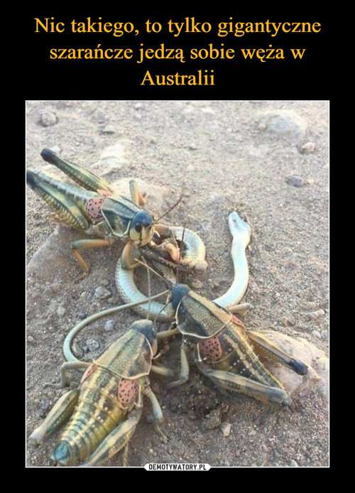 Nic takiego, to tylko gigantyczne szarańcze jedzą sobie węża w Australii