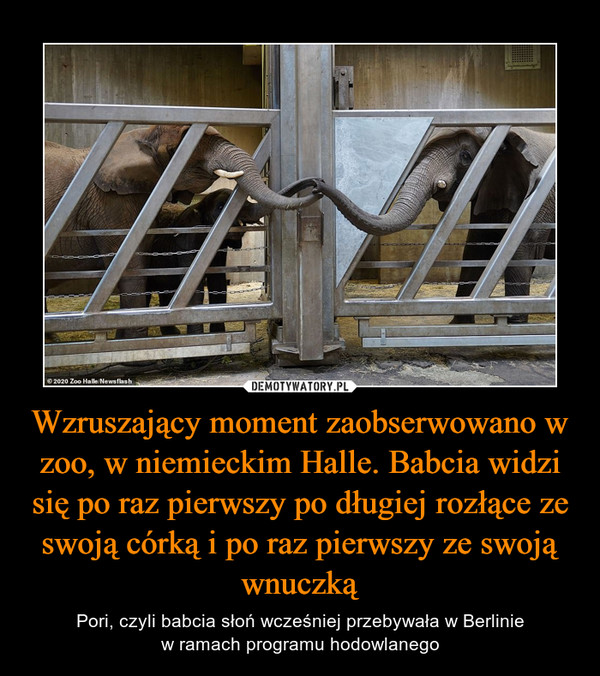 Wzruszający moment zaobserwowano w zoo, w niemieckim Halle. Babcia widzi się po raz pierwszy po długiej rozłące ze swoją córką i po raz pierwszy ze swoją wnuczką – Pori, czyli babcia słoń wcześniej przebywała w Berliniew ramach programu hodowlanego