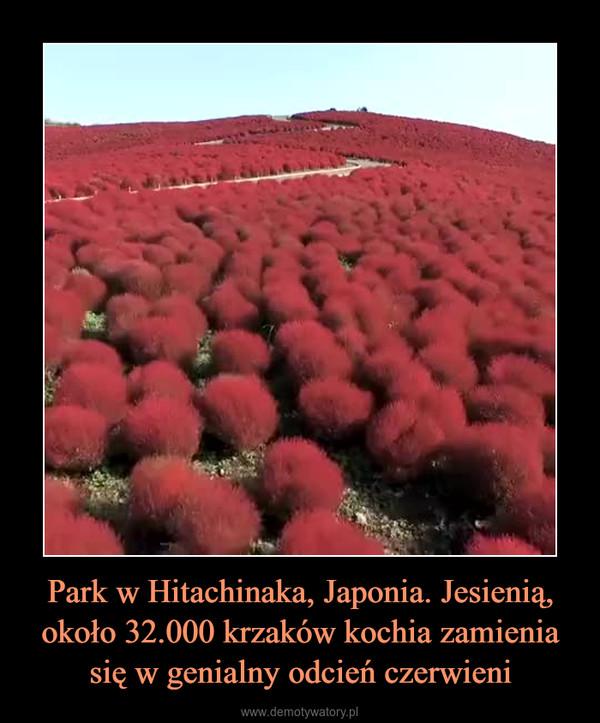 Park w Hitachinaka, Japonia. Jesienią, około 32.000 krzaków kochia zamienia się w genialny odcień czerwieni –