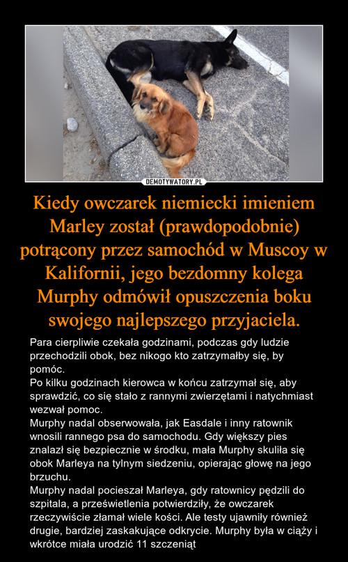 Kiedy owczarek niemiecki imieniem Marley został (prawdopodobnie) potrącony przez samochód w Muscoy w Kalifornii, jego bezdomny kolega Murphy odmówił opuszczenia boku swojego najlepszego przyjaciela.