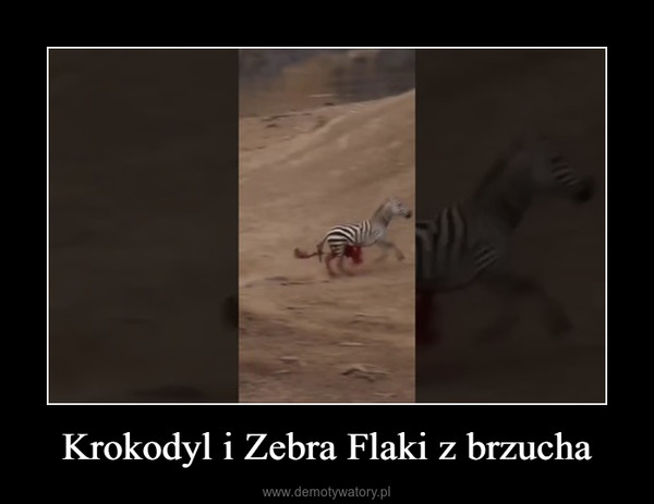 Krokodyl i Zebra Flaki z brzucha –