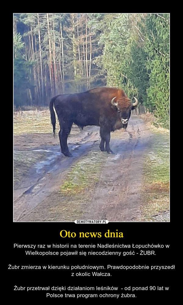 Oto news dnia – Pierwszy raz w historii na terenie Nadleśnictwa Łopuchówko w Wielkopolsce pojawił się niecodzienny gość - ŻUBR. Żubr zmierza w kierunku południowym. Prawdopodobnie przyszedł z okolic Wałcza.Żubr przetrwał dzięki działaniom leśników  - od ponad 90 lat w Polsce trwa program ochrony żubra.