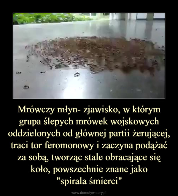"""Mrówczy młyn- zjawisko, w którym grupa ślepych mrówek wojskowych oddzielonych od głównej partii żerującej, traci tor feromonowy i zaczyna podążać za sobą, tworząc stale obracające się koło, powszechnie znane jako""""spirala śmierci"""" –"""