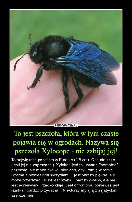 To jest pszczoła, która w tym czasie pojawia się w ogrodach. Nazywa się pszczoła Xylocope - nie zabijaj jej!