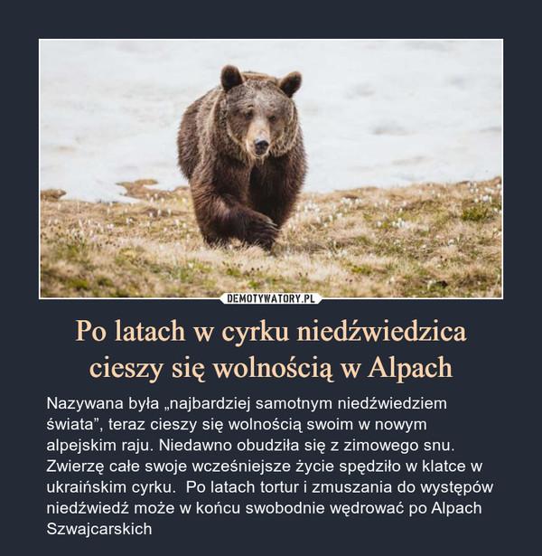 """Po latach w cyrku niedźwiedzicacieszy się wolnością w Alpach – Nazywana była """"najbardziej samotnym niedźwiedziem świata"""", teraz cieszy się wolnością swoim w nowym alpejskim raju. Niedawno obudziła się z zimowego snu. Zwierzę całe swoje wcześniejsze życie spędziło w klatce w ukraińskim cyrku.  Po latach tortur i zmuszania do występów niedźwiedź może w końcu swobodnie wędrować po Alpach Szwajcarskich"""