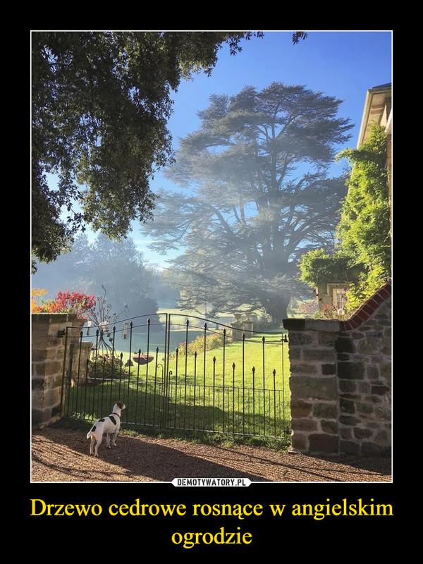 Drzewo cedrowe rosnące w angielskim ogrodzie –