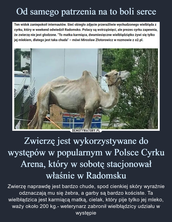 """Zwierzę jest wykorzystywane do występów w popularnym w Polsce Cyrku Arena, który w sobotę stacjonował właśnie w Radomsku – Zwierzę naprawdę jest bardzo chude, spod cienkiej skóry wyraźnie odznaczają mu się żebra, a garby są bardzo kościste. Ta wielbłądzica jest karmiącą matką, cielak, który pije tylko jej mleko, waży około 200 kg.- weterynarz zabronił wielbłądzicy udziału w występie Ten widok zaniepokoił internautów. Sieć obiegło zdjęcie przeraźliwie wychudzonego wielbłąda z cyrku, który w weekend odwiedził Radomsko. Polacy są wstrząśnięci, ale prezes cyrku zapewnia, że zwierzę nie jest głodzone. """"To matka karmiąca, dwumiesięczne wielbłądziątko żywi się tylko jej mlekiem, dlatego jest taka chuda"""" - mówi Mirosław Złotorowicz w rozmowie z o2.pl."""