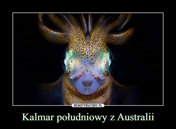 Kalmar południowy z Australii –
